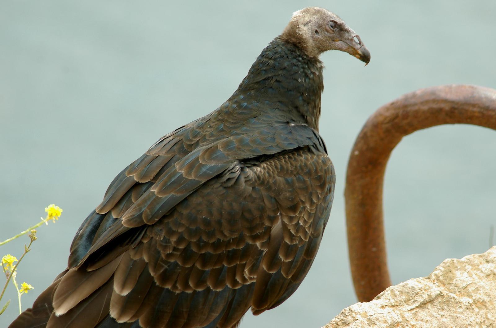 Turkey Vulture Photo by Kent Jensen