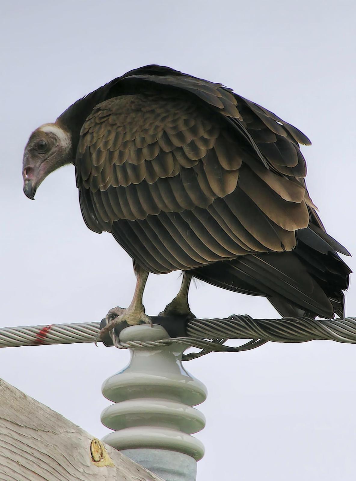 Turkey Vulture Photo by Dan Tallman