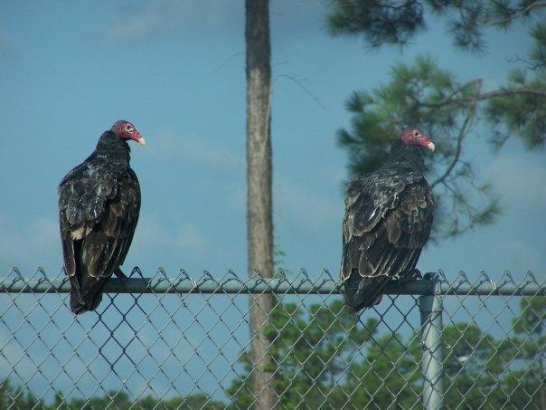 Turkey Vulture Photo by Mike Ballentine