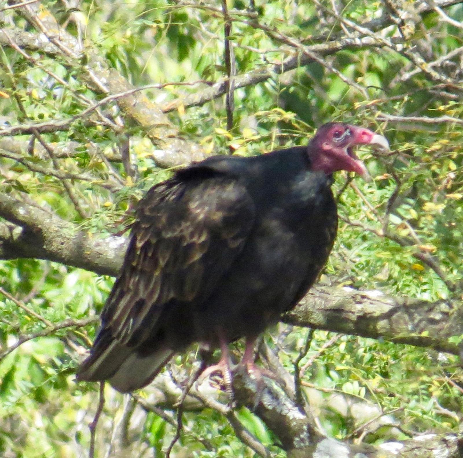 Turkey Vulture (Northern) Photo by Don Glasco