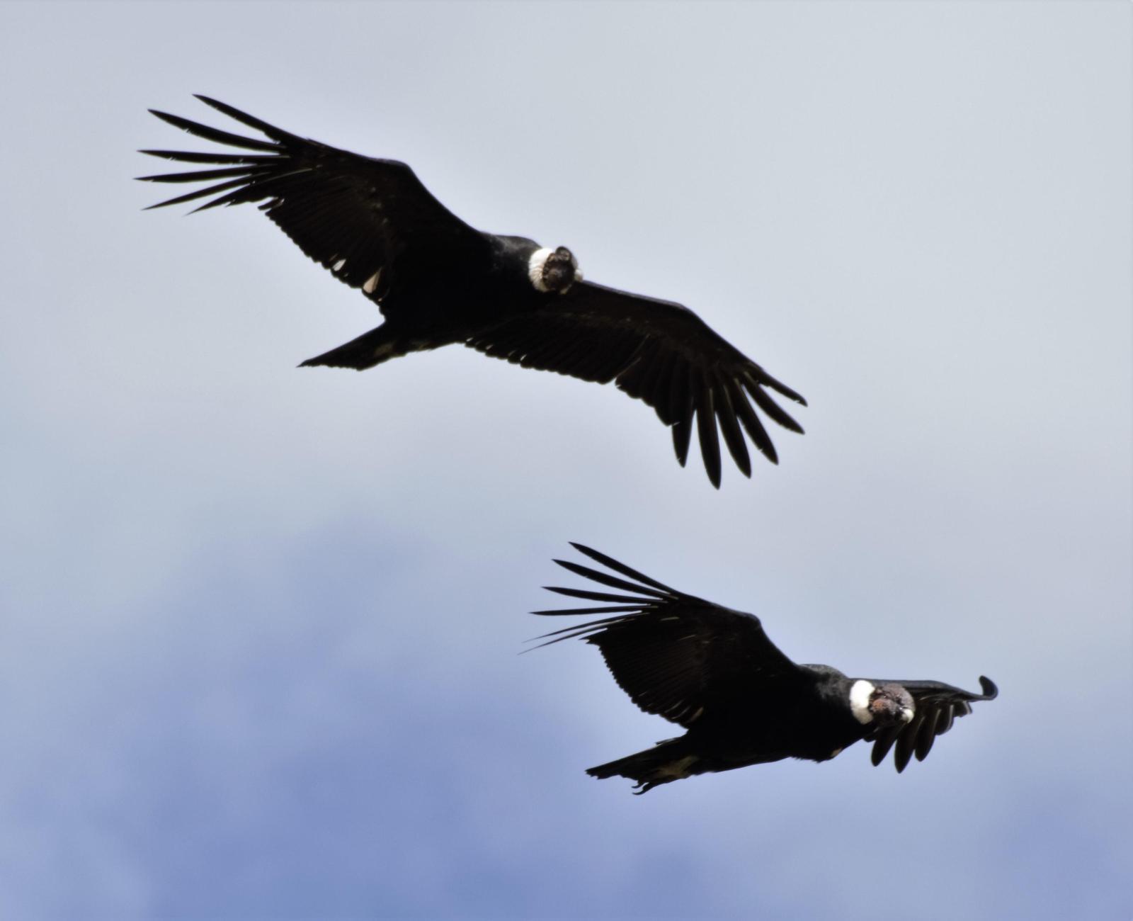 Andean Condor Photo by Erik Ostrander