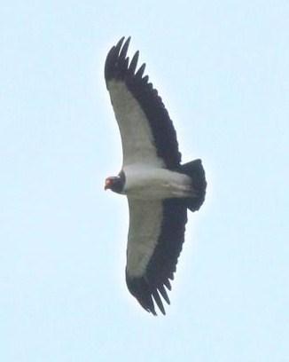 King Vulture Photo by Michael L. P. Retter