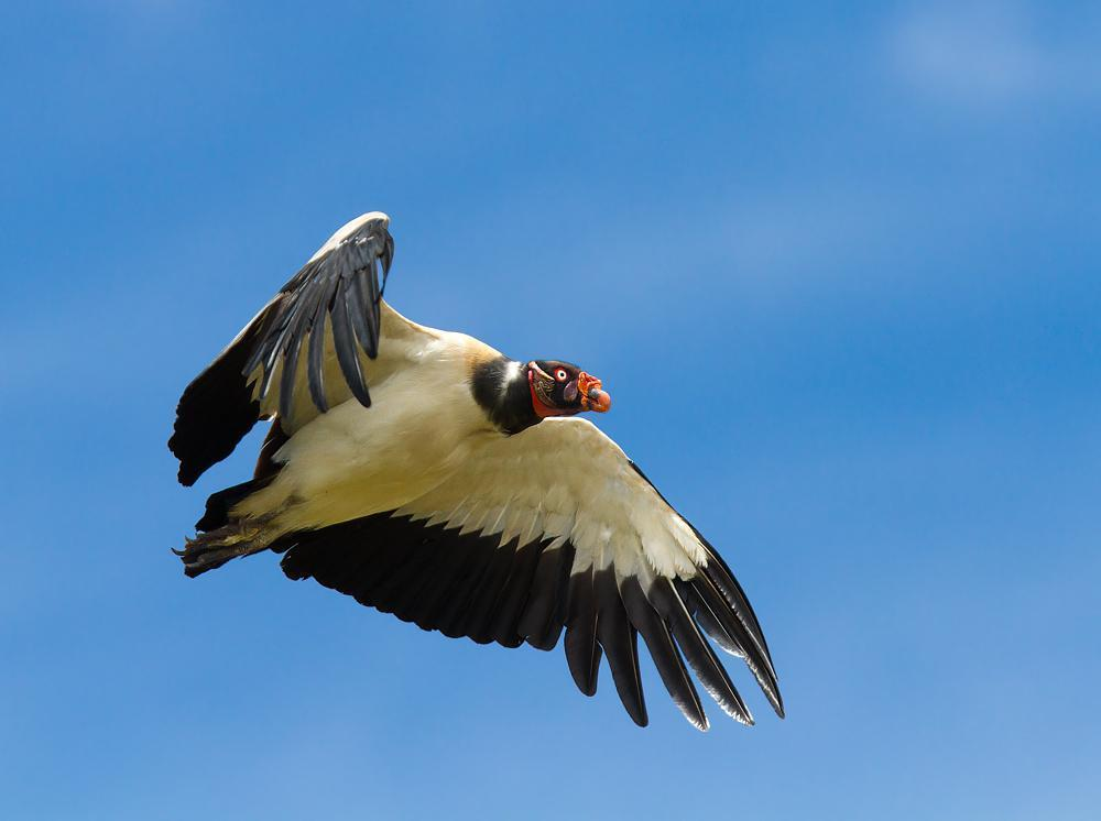 King Vulture Photo by Antonio Girotto