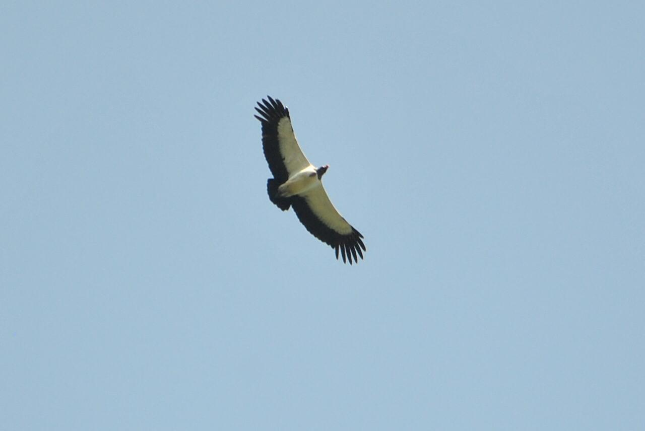 King Vulture Photo by Karlo Antonio Soto Huerta