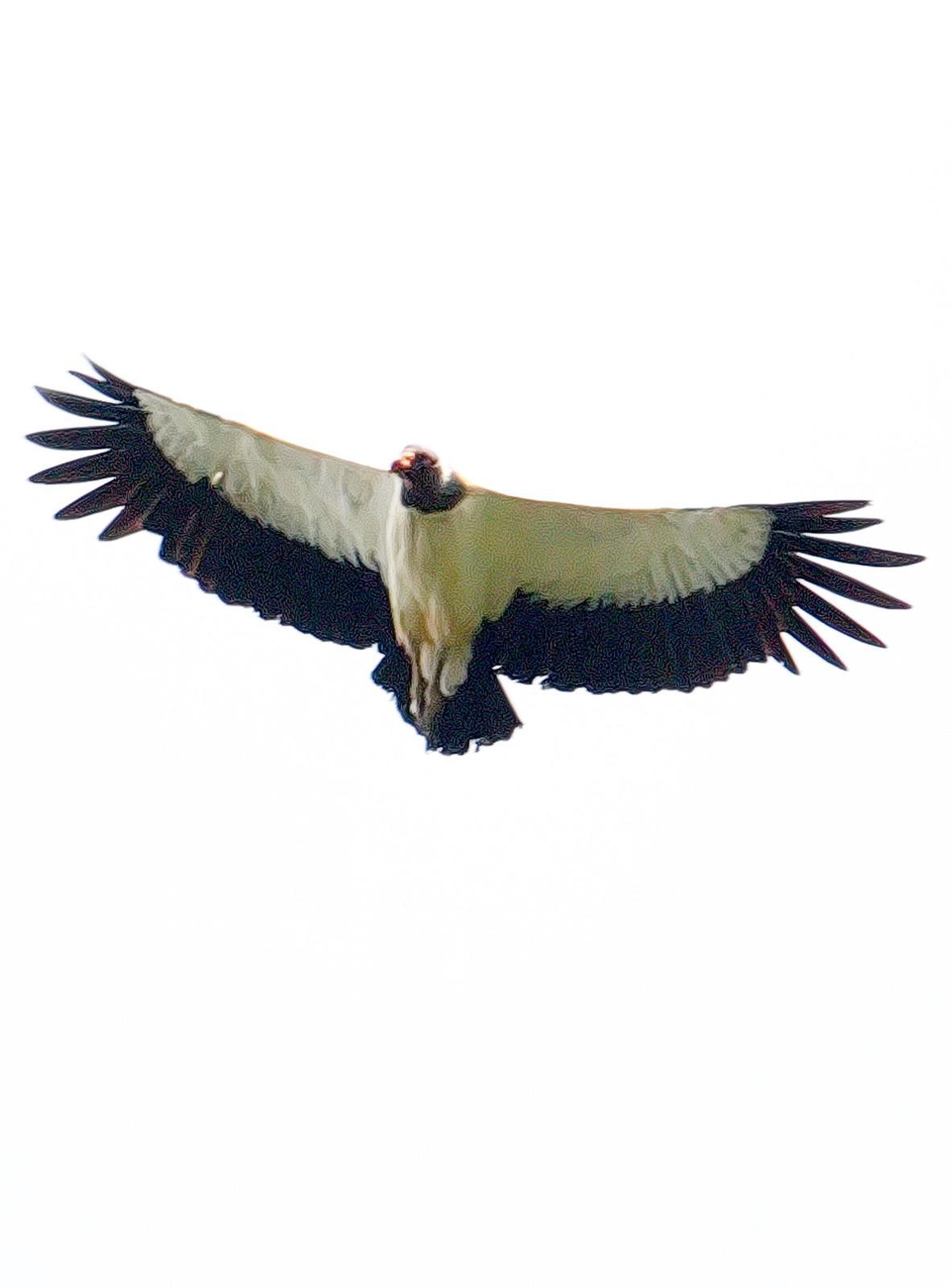 King Vulture Photo by Dan Tallman
