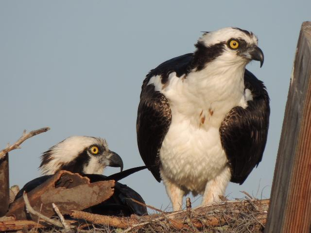 Osprey Photo by Tony Heindel