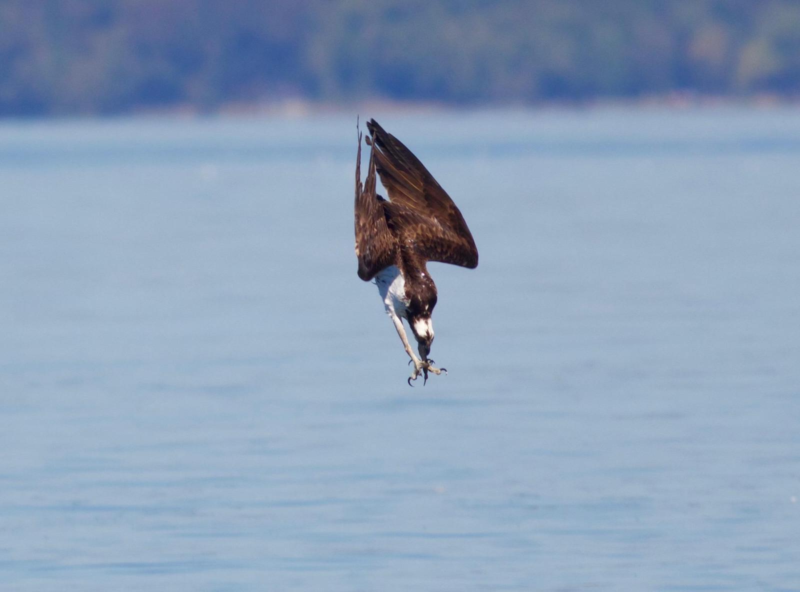 Osprey Photo by Kathryn Keith