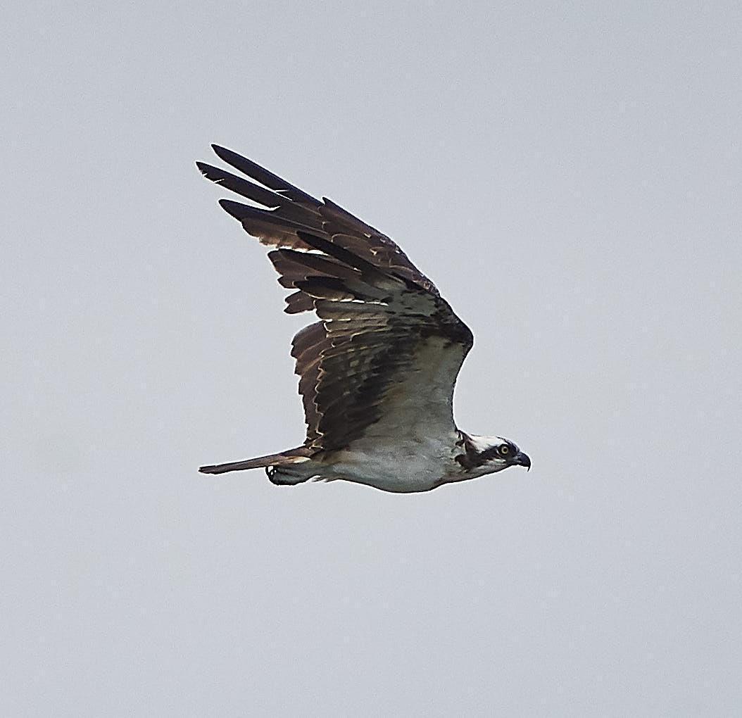 Osprey Photo by Steven Cheong