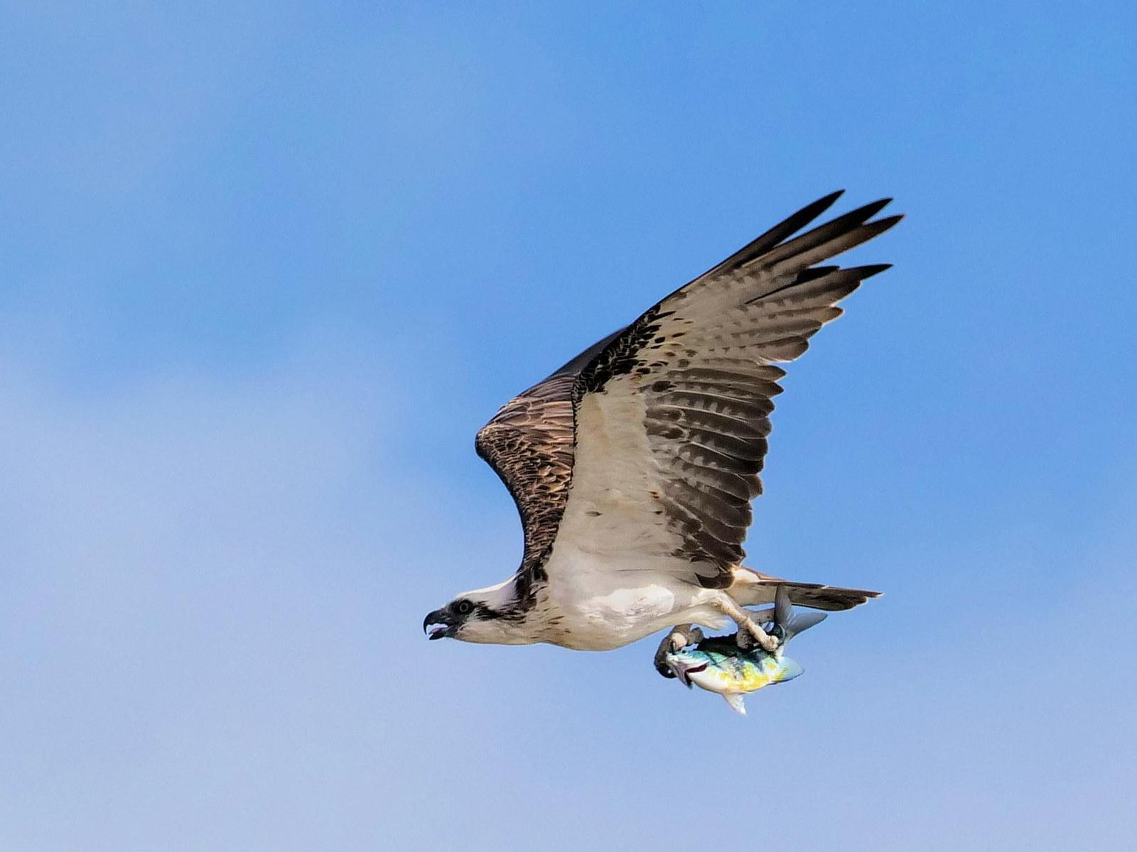 Osprey (Australasian) Photo by Peter Lowe