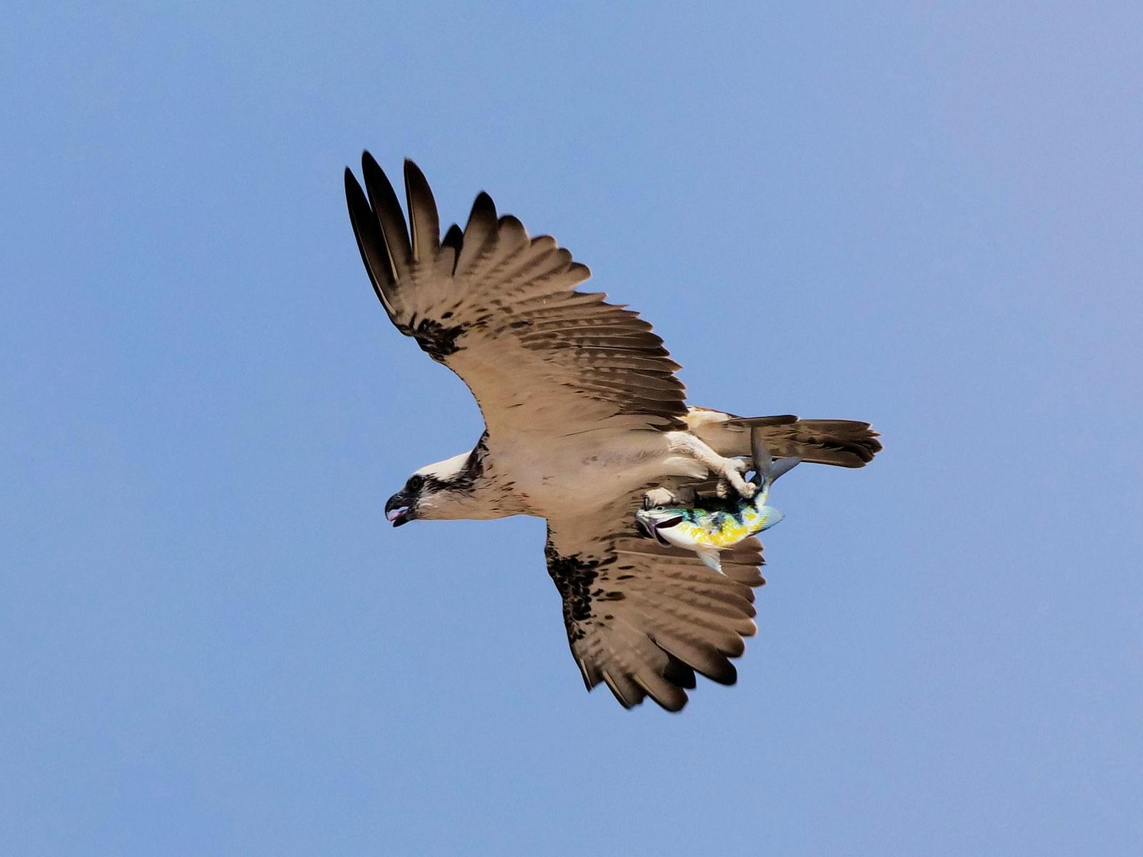 Osprey (Australasian) Photo by Peter Lowe