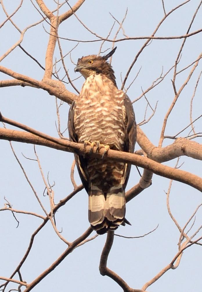 Oriental Honey-buzzard Photo by marcel finlay