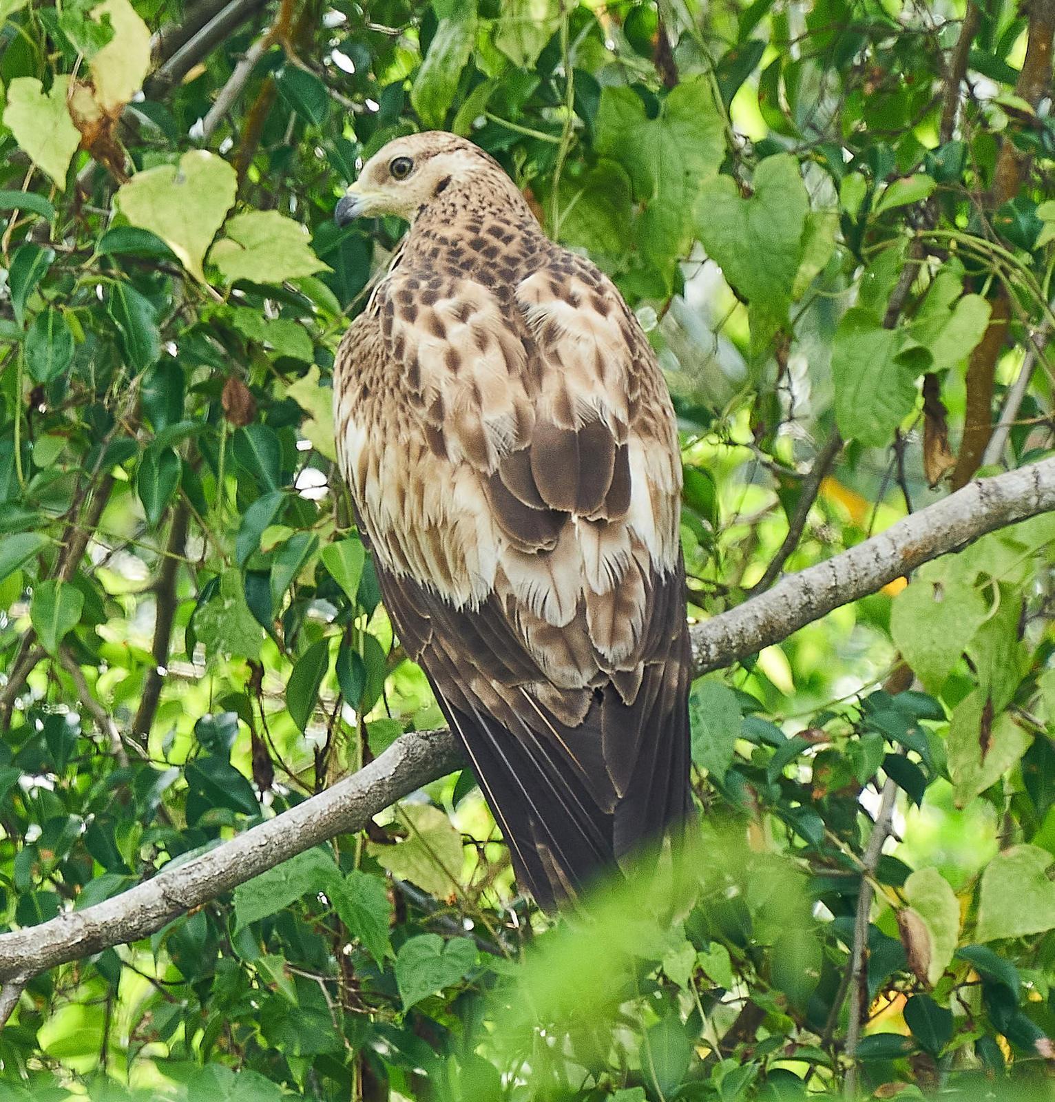 Oriental Honey-buzzard Photo by Steven Cheong