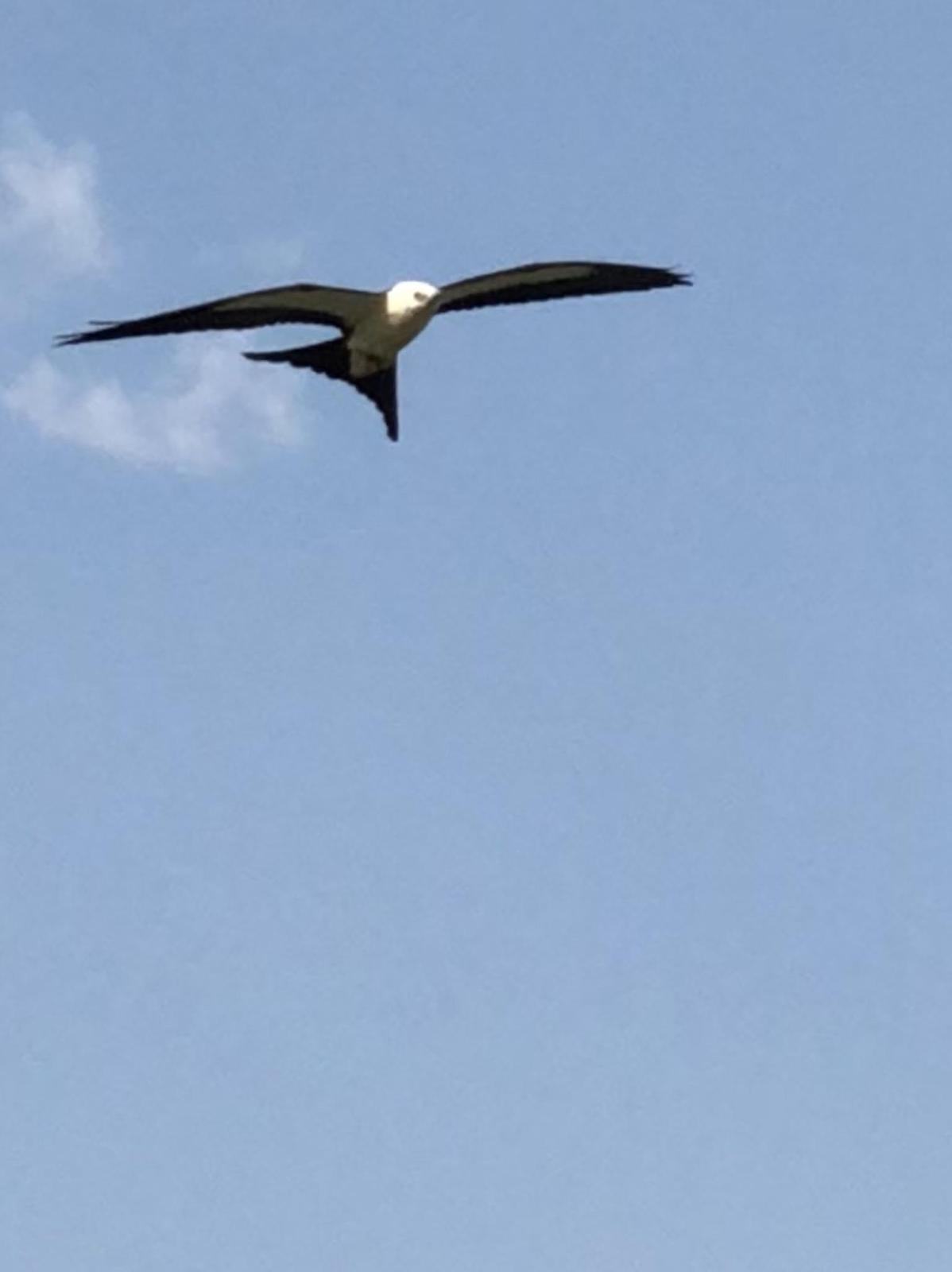 Swallow-tailed Kite Photo by Lisa Owens