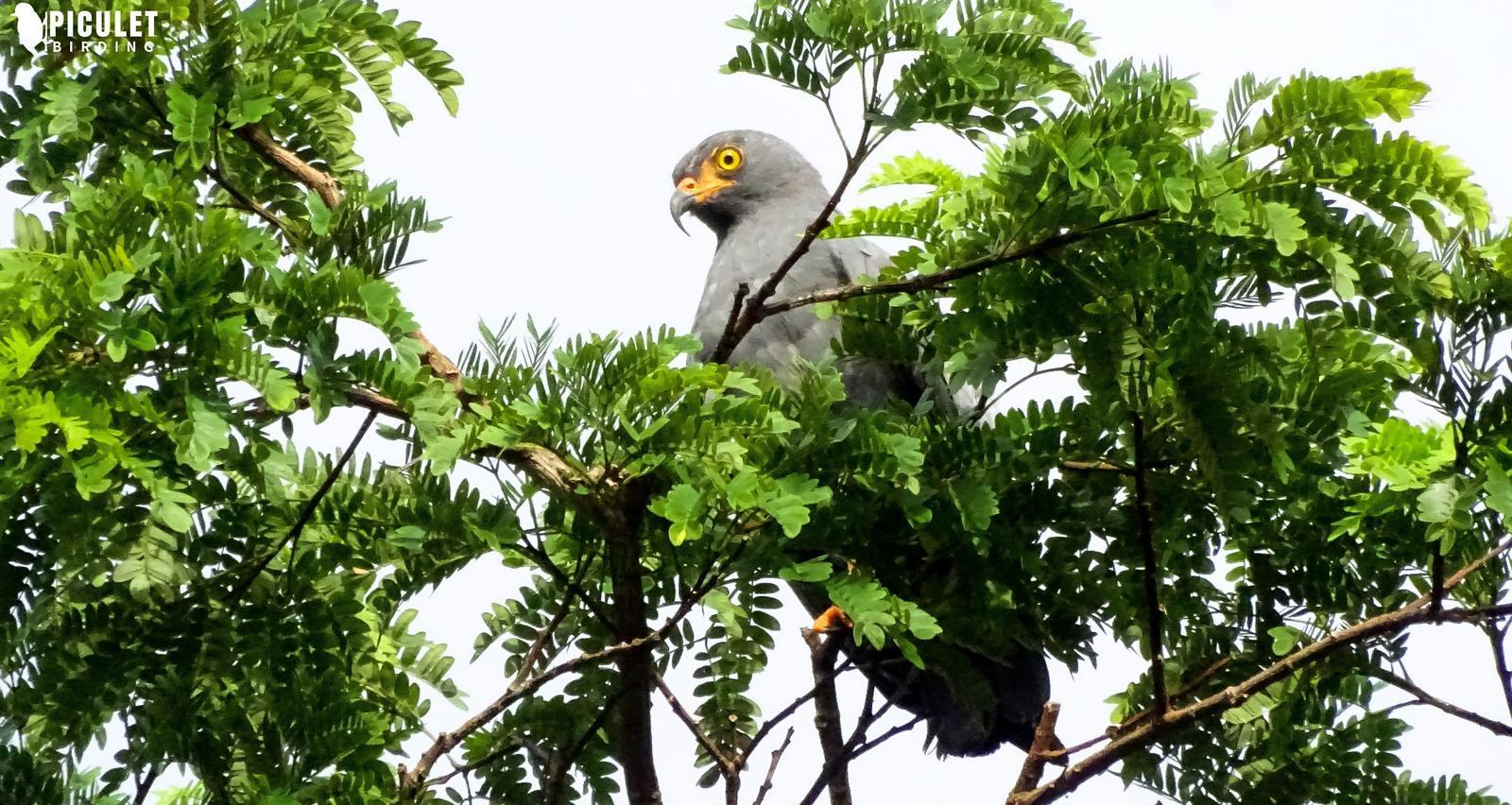Slender-billed Kite Photo by Julio Delgado