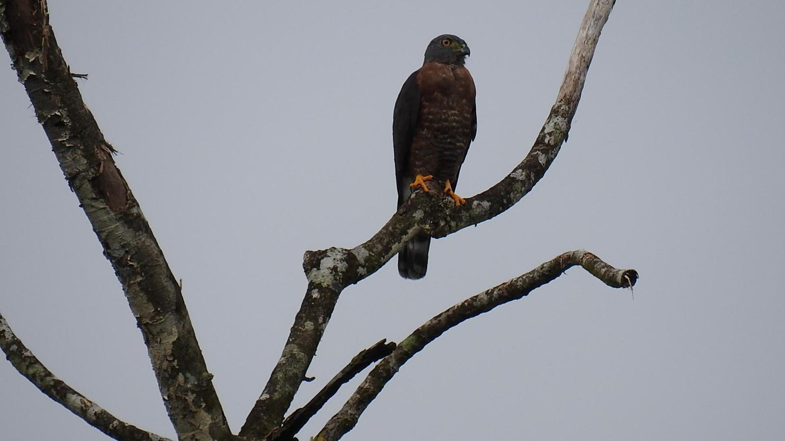 Double-toothed Kite Photo by Julio Delgado