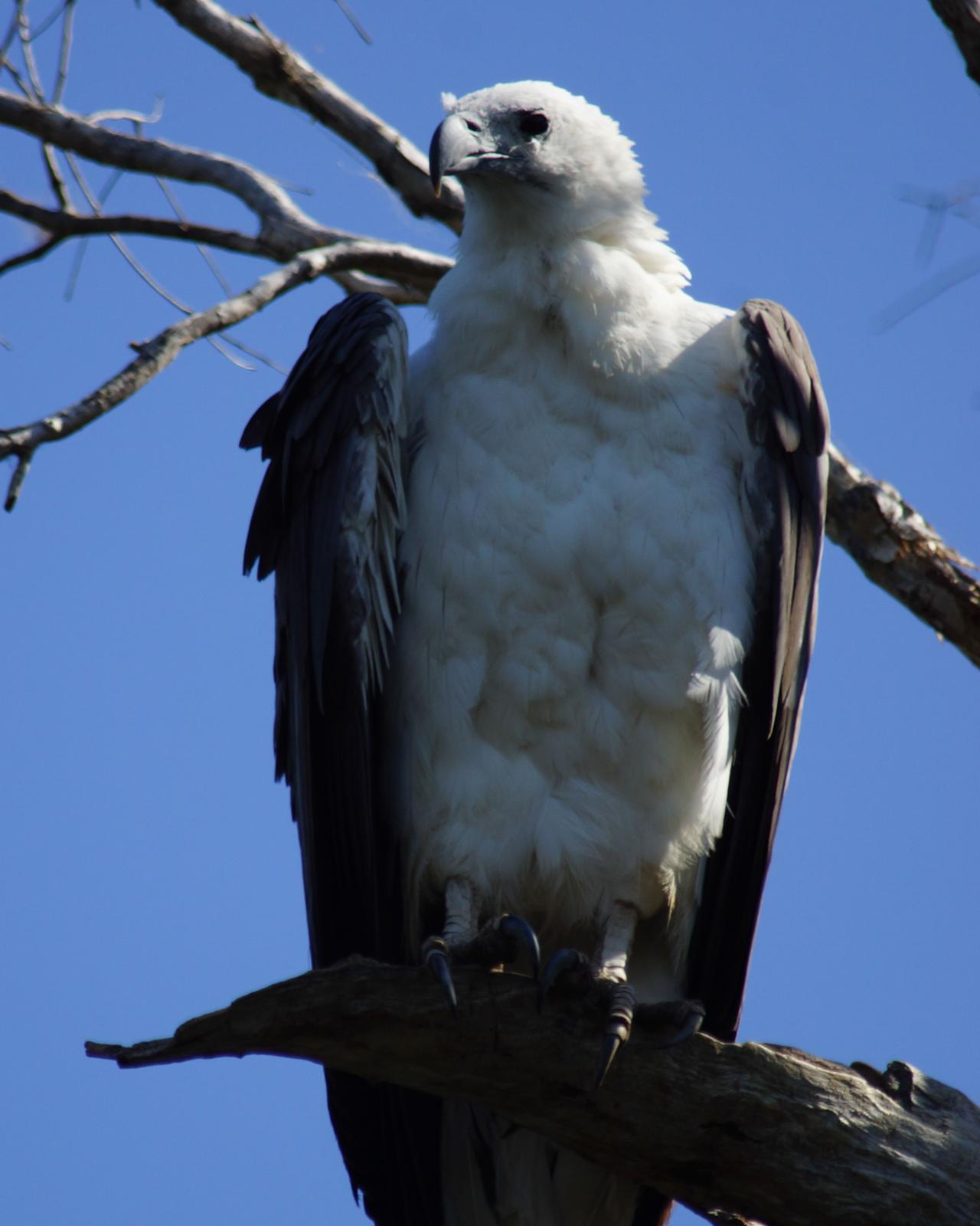White-bellied Sea-Eagle Photo by Steve Percival