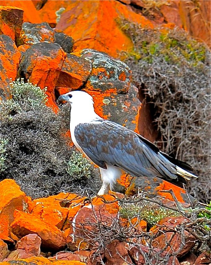 White-bellied Sea-Eagle Photo by Gerald Friesen