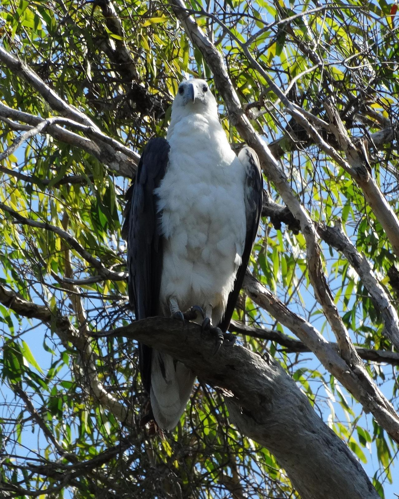 White-bellied Sea-Eagle Photo by Emily Percival