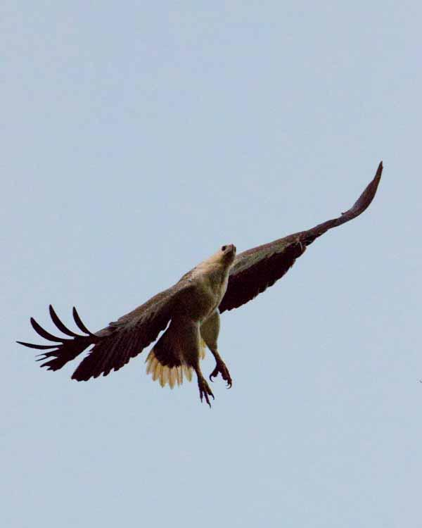White-bellied Sea-Eagle Photo by Bob Hasenick