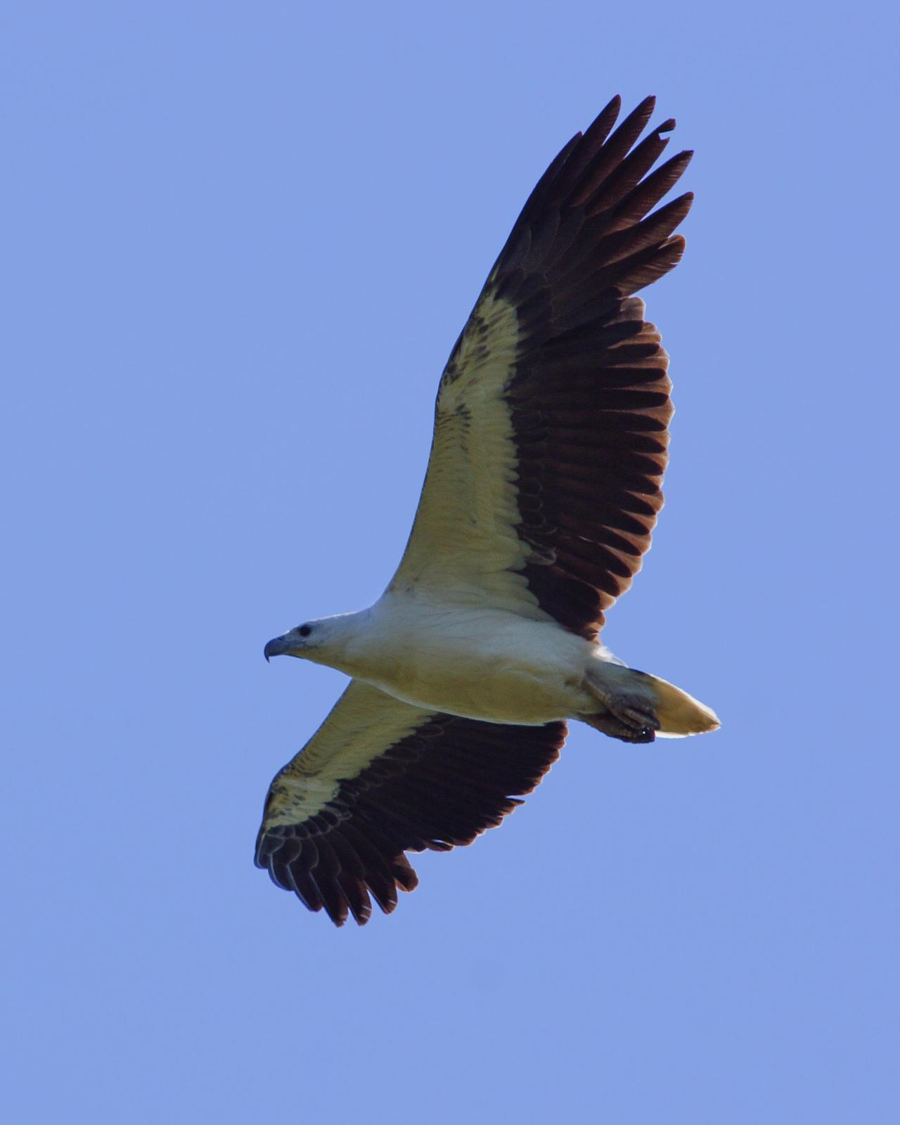 White-bellied Sea-Eagle Photo by Steve Percival