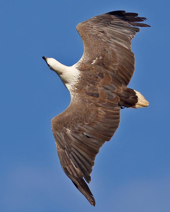 White-bellied Sea-Eagle Photo by Mat Gilfedder