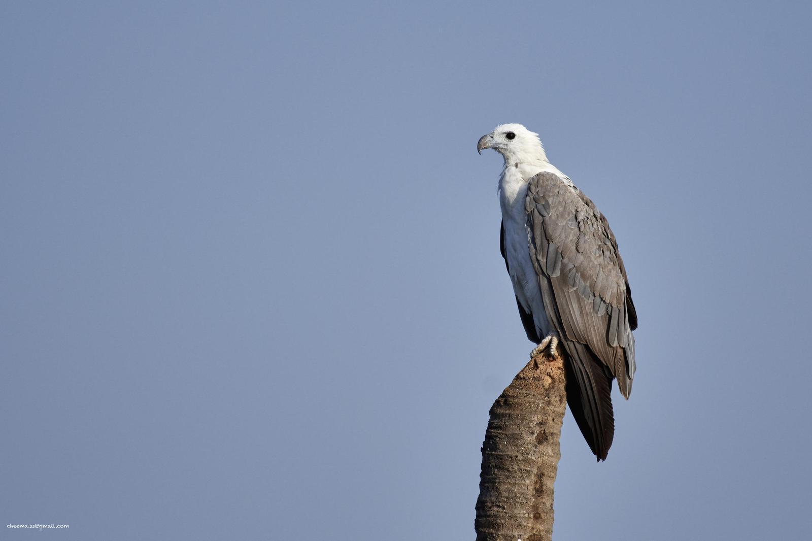 White-bellied Sea-Eagle Photo by Simepreet Cheema