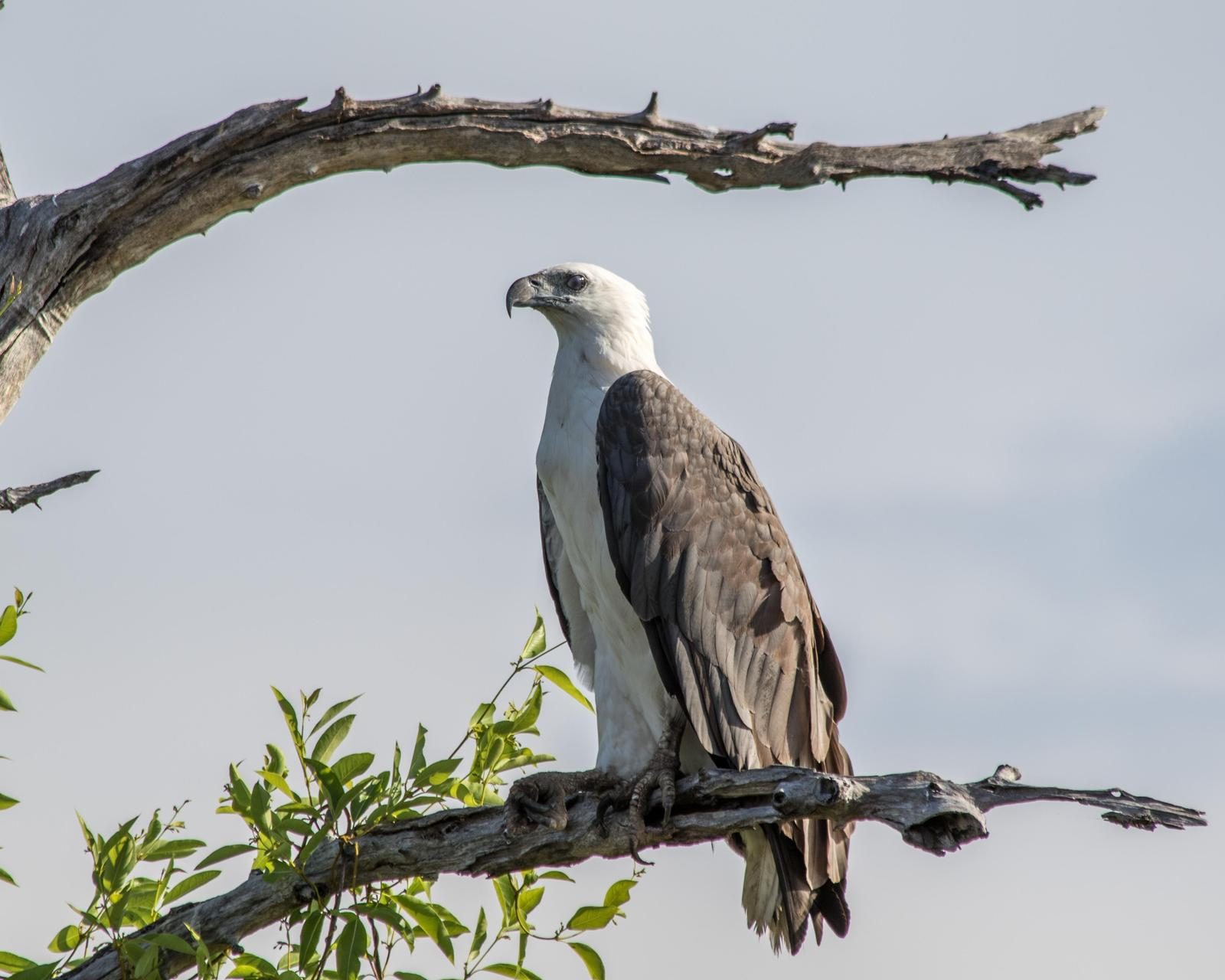 White-bellied Sea-Eagle Photo by Mark Baldwin
