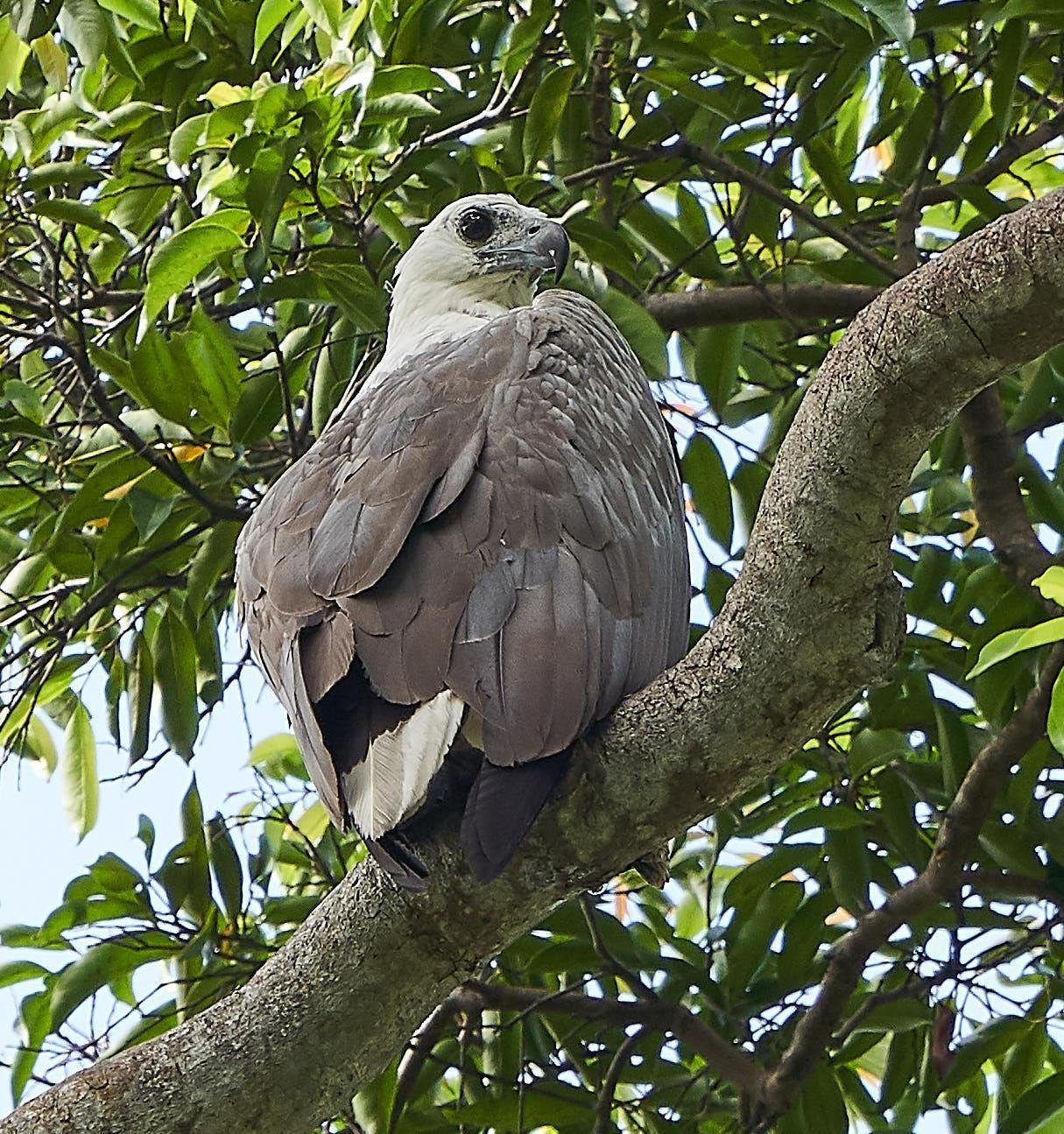 White-bellied Sea-Eagle Photo by Steven Cheong