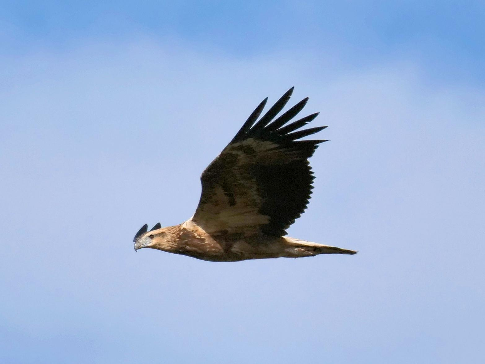 White-bellied Sea-Eagle Photo by Peter Lowe