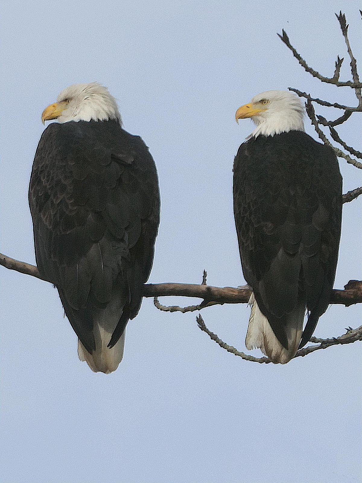 Bald Eagle Photo by Dan Tallman