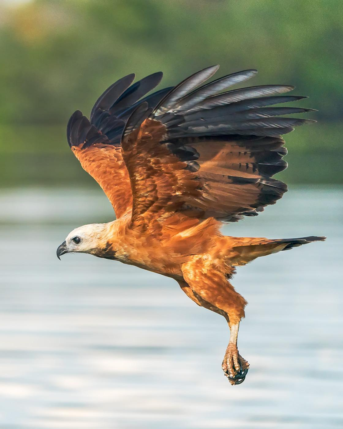 Black-collared Hawk Photo by Jose Hernandez