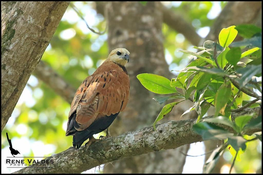 Black-collared Hawk Photo by Rene Valdes