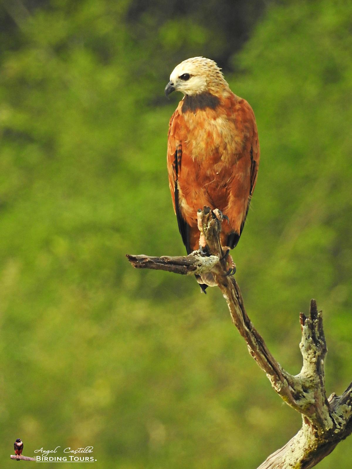 Black-collared Hawk Photo by Castillo Cime