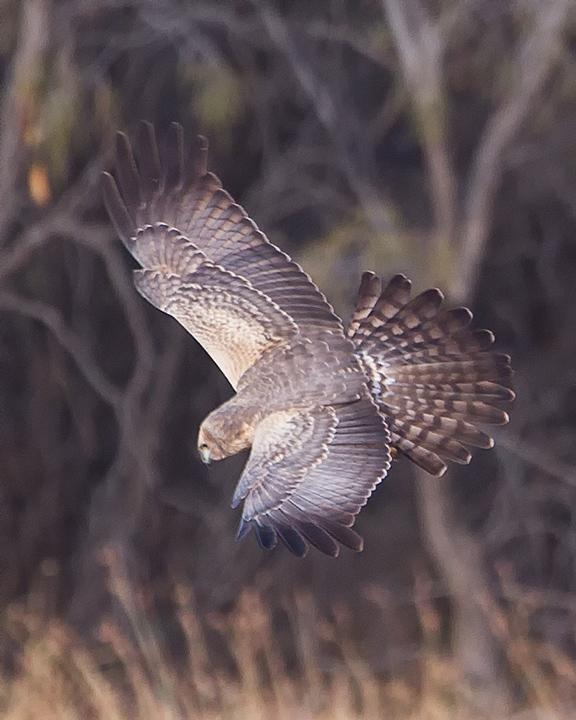 Spotted Harrier Photo by Mat Gilfedder