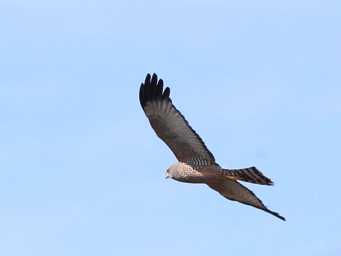 Spotted Harrier Photo by Rohan van Twest