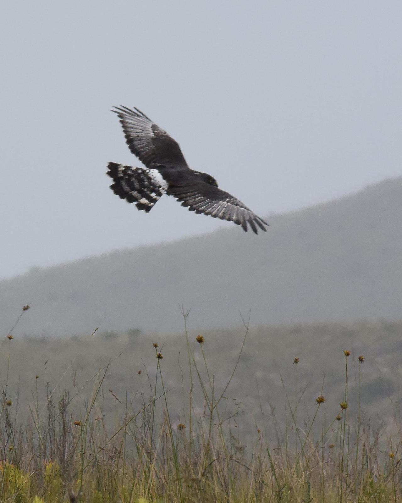 Black Harrier Photo by Steve Percival