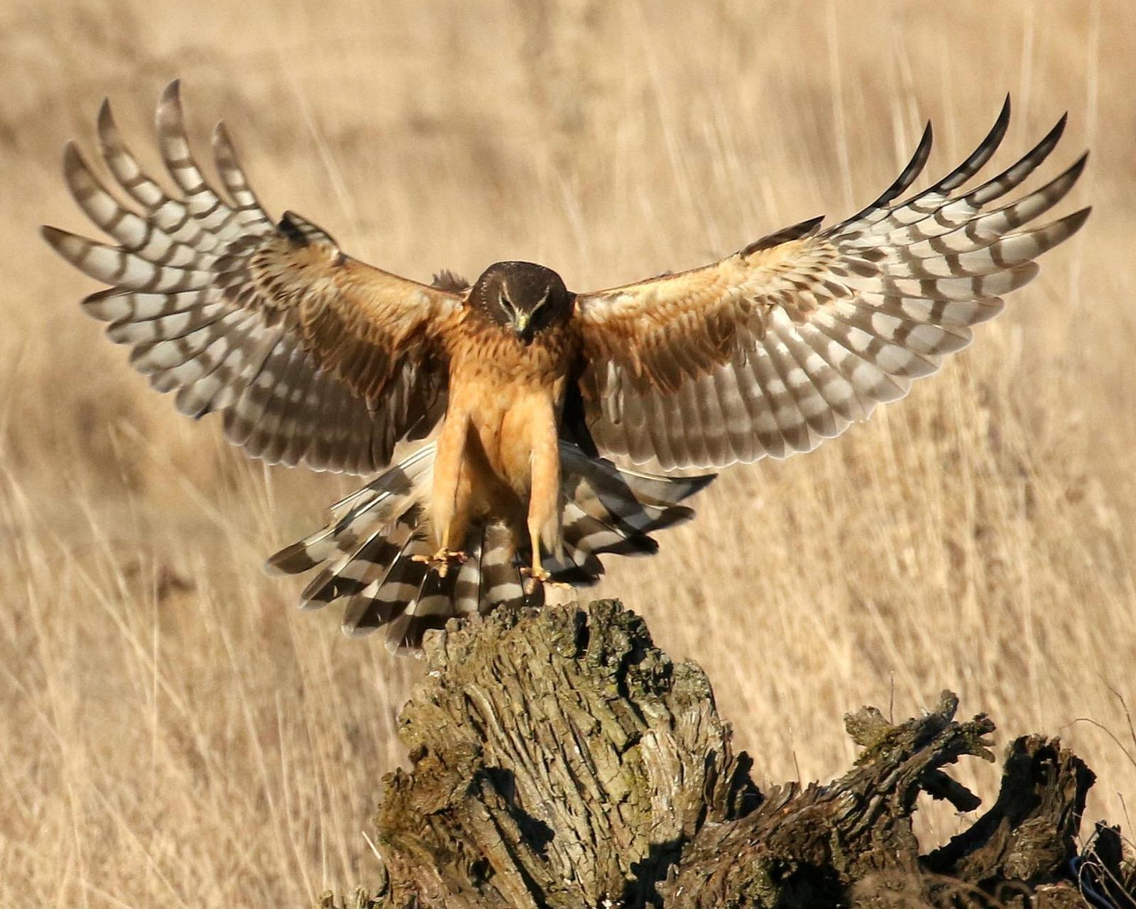 Northern Harrier Photo by Tim McKibben
