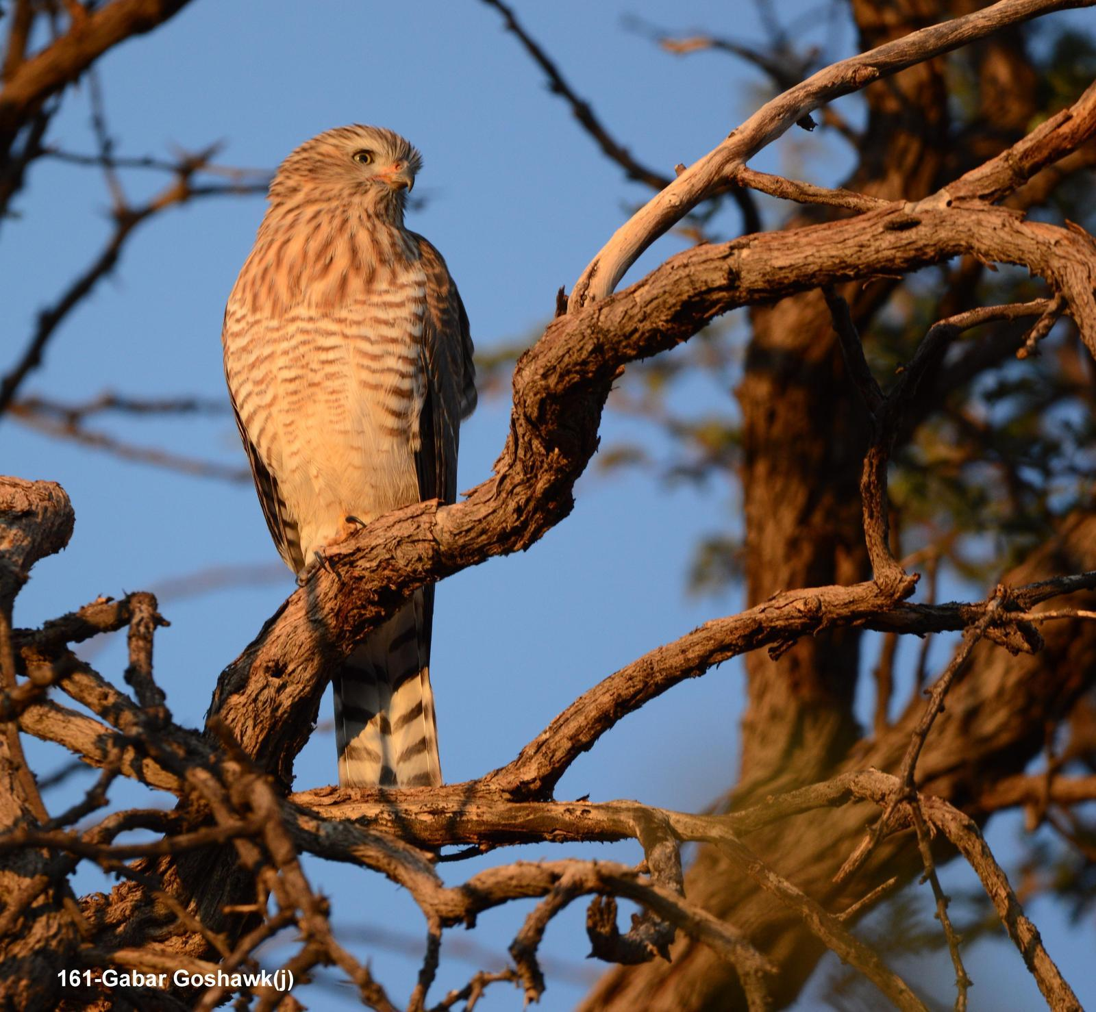 Gabar Goshawk Photo by Richard  Lowe
