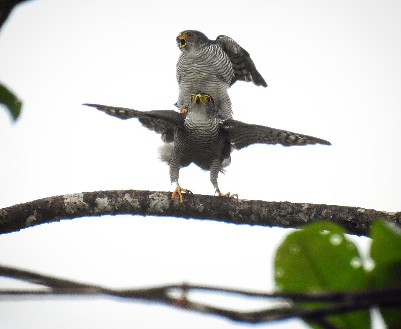 Tiny Hawk Photo by Julio Delgado