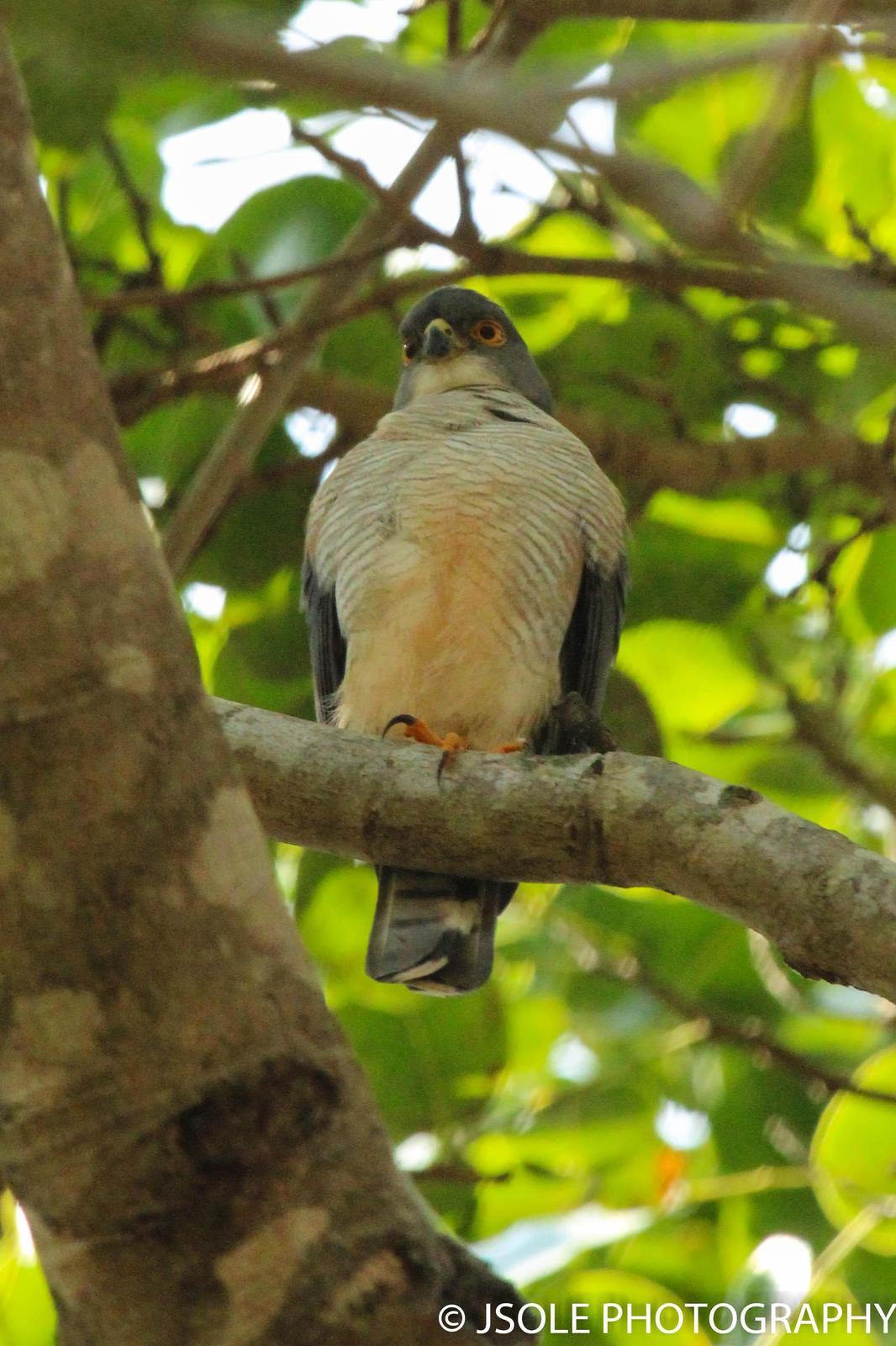 Little Sparrowhawk Photo by Jeffery Sole