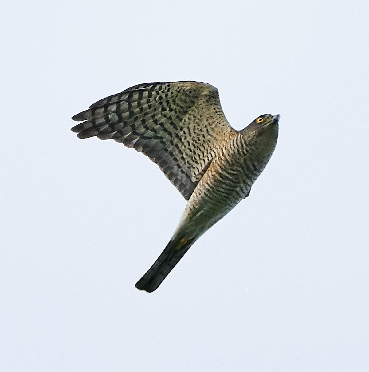 Japanese Sparrowhawk Photo by Steven Cheong