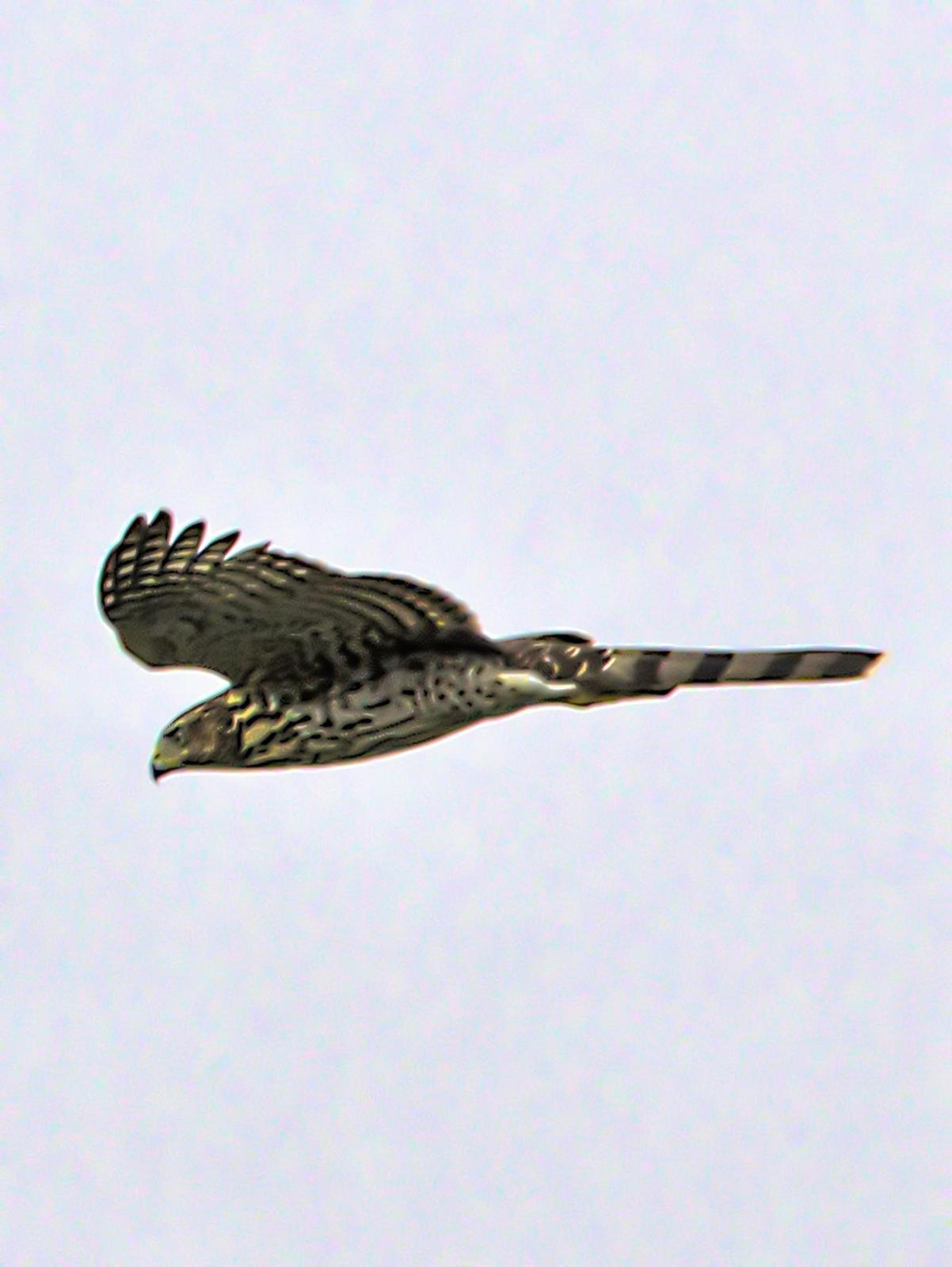 Cooper's Hawk Photo by Dan Tallman