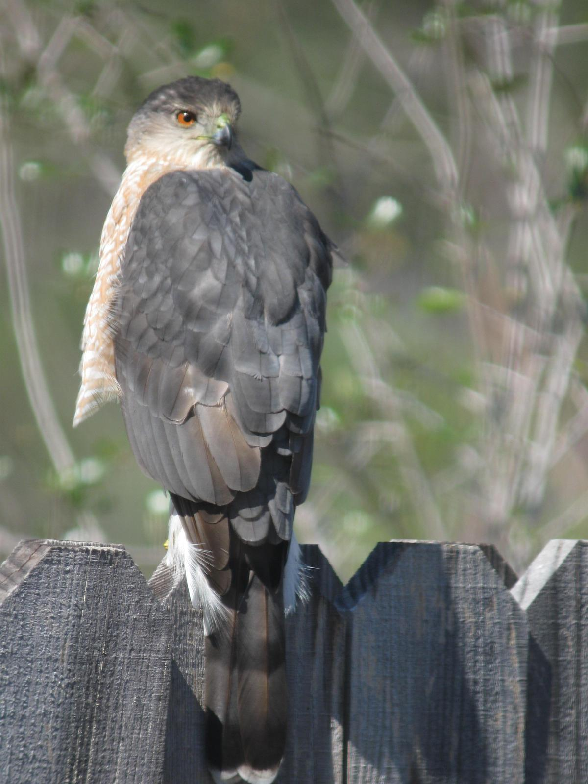 Cooper's Hawk Photo by Melinda Calabrese