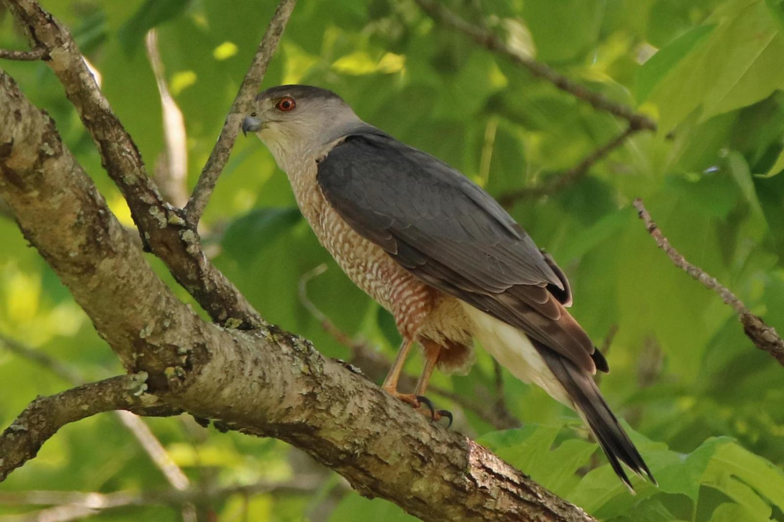 Cooper's Hawk Photo by Kristy Baker