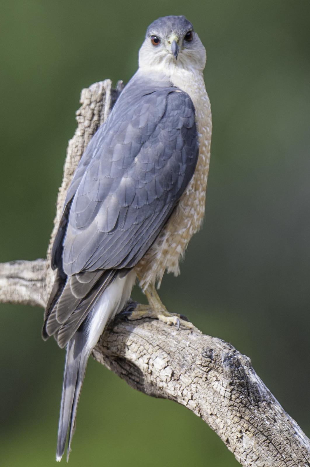 Cooper's Hawk Photo by Mason Rose