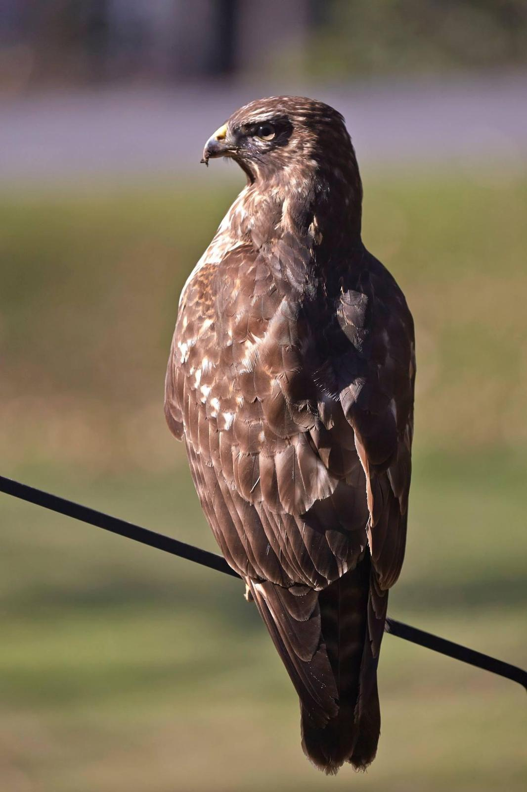Cooper's Hawk Photo by Eric Eisenstadt
