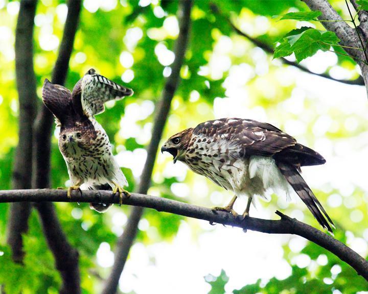 Cooper's Hawk Photo by Jean-Pierre LaBrèche