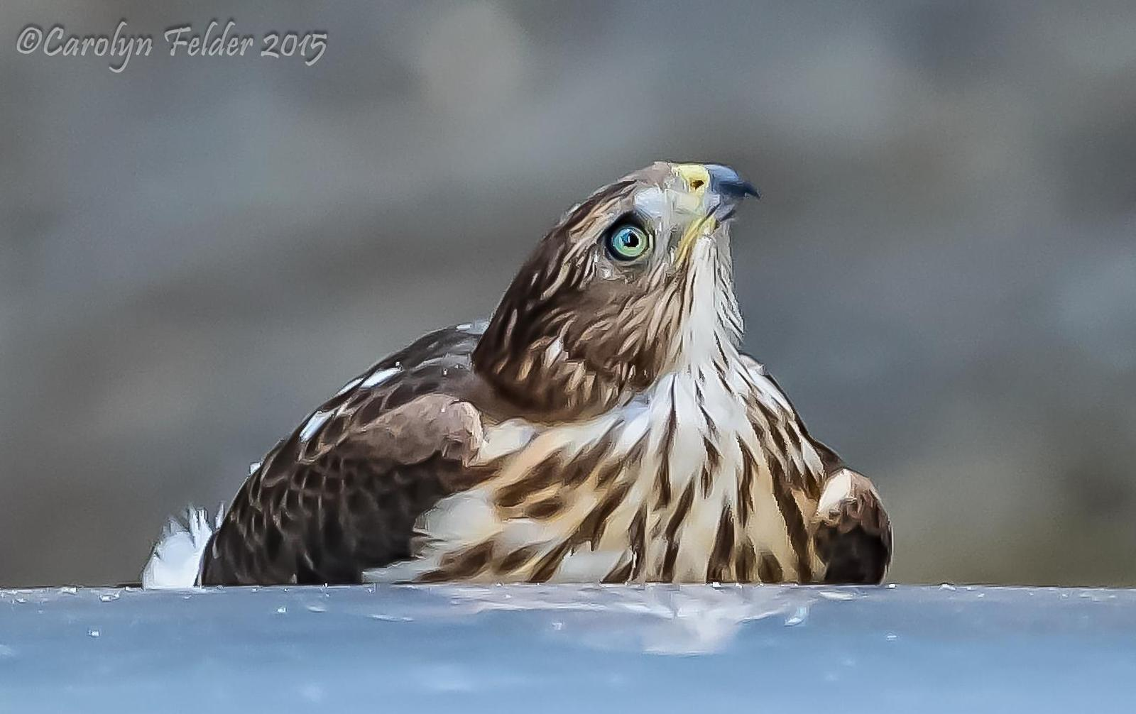 Cooper's Hawk Photo by Carolyn Felder