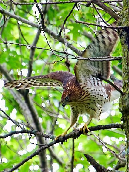 Cooper's Hawk Photo by Dan Tallman