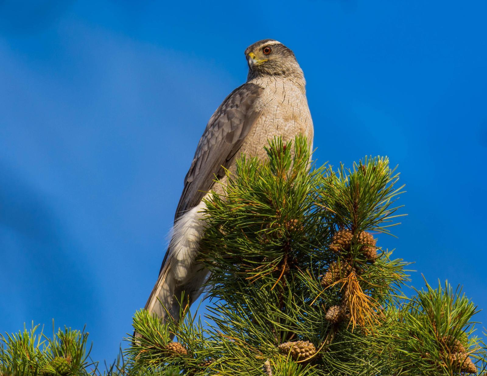 Northern Goshawk (American) Photo by Karen Prisby